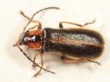 Rhagonycha coloradensis