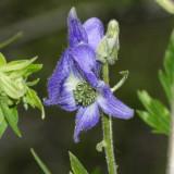 Western Monkshood - Aconitum columbianum