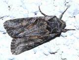 10395 - Lacinipolia pensilis