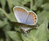 San Emigdio Blue - Plebejus emigdionis