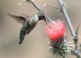 Black-chinned Hummingbird - Archilochus alexandri