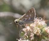 Lindsey's Skipper - Hesperia lindseyi