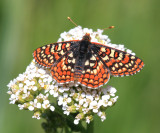 Edith's Checkerspot - Euphydryas editha