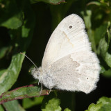 California Common Ringlet - Coenonympha tullia