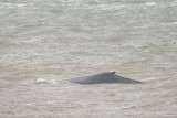 Humpback Whale - Megaptera novaeangliae - Bultrug
