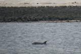 Bottlenose Dolphin - Tursiops truncatus - Tuimelaar