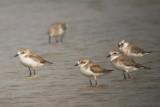 Lesser Sand Plovers - Charadrius mongolicus