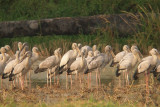 Open-billed Storks - Anastomus lamelligerus, near Peth Buri