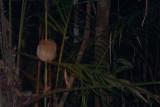 Gurney's Pitta - Pitta gurneyi, female, Khao Pra Bang Khram (Khao Nor Chuchi)