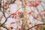 Stripe-breasted Woodpecker -Dendrocopos atratus, Doi Chiang Dao, Den Ya Kat