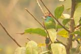 Blue-throated Barbet - Megalaima asiatica, Doi Chiang Dao