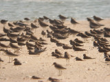 Greater Sand Plovers - Charadrius leschenaultii