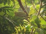 Pin-tailed Green Pigeon - Treron apicauda, Doi Chiang Dao
