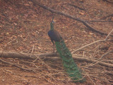Green Peafowl - Pavo muticus, Huai Hong Krai Royal Project, Northern Thailand