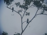 Greater Racket-tailed Drongos - Dicrurus paradiseus, Khao Yai National Park