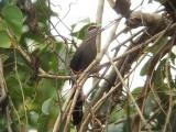 Green-billed Malkoha - Phaenicophaeus tristis, Khao Yai National Park