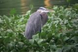 Great Blue Heron - Ardea herodias, Los Tuxtlas, Veracruz