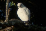 White Hawk - Leucopternis albicollis
