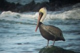Atlantic Brown Pelican - Pelecanus occidentalis, Montepio, Veracruz