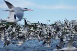 Royal Tern - Sterna maxima, La Antigua, Veracruz