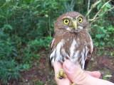 Ferruginous Pygmy Owl - Glaucidium brasilianum