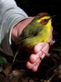 Golden-browed Warbler - Basileuterus belli