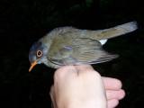Black-headed Nightingale Trush - Catharus mexicanus