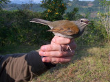 Brown-backed Solitaire - Myadestes occidentalis