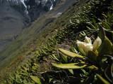 Rhodondendron scrub on the slopes of Mount Kuro