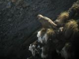 Caucasian Snowcock - Tetraogallus caucasicus,  Kazbegi