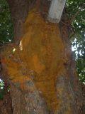 11-Close view of pAnchajanyam on jackfruit tree.JPG