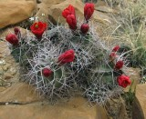 Red cactus flower