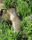 Ground squirel