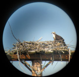 Osprey at St Mary's visitor centre