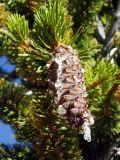 Bristlecone cone