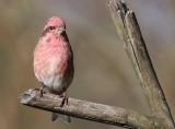 Suzette's Purple Finch fixed