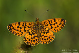 Boloria Clossiana selene