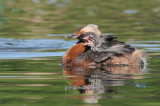 Horned Grebe with chicks, Lakeview Park, Saskatoon