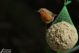 European Robin / Rouge-gorge familier (Erithacus rubecula)