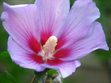 Blooming again 6 June 2008