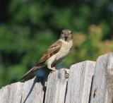Momma bird 12 June 2008