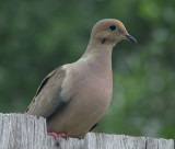 Dove or Pigeon? - Liked it's picture taken  14 June 2008