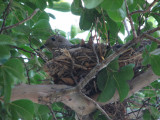 Dove in her nest 20 June 2008