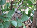 She's Still Sitting on her nest 24 June 2008