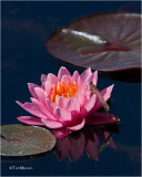 Water Lily & Damselfly