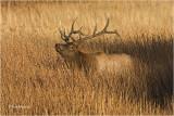 Elk  (bull)