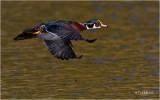 Wood Duck (drake)