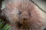 Porcupine (juv)