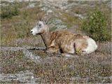 Bighorn sheep  (Female)