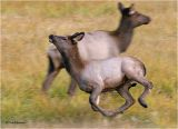 Elk calf        ( running around mom)